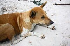 собака тайская Стоковые Фото