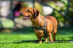 Собака таксы в внешнем Стоковые Фотографии RF