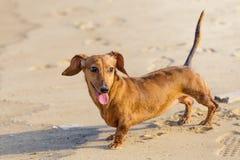 Собака таксы в пляже Стоковая Фотография