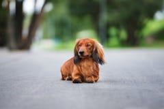 Собака таксы представляя outdoors Стоковая Фотография