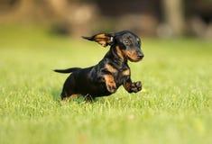 Собака таксы скачет зеленая трава Стоковая Фотография