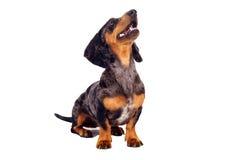 Собака таксы смотрит на белой предпосылке Стоковые Фото