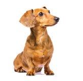 Собака таксы смотря налево Стоковые Изображения RF