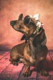 Собака таксы с солнечными очками и цветками на ее голове стоковое изображение rf