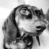 Собака таксы Стоковая Фотография
