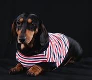 Собака таксы стоковая фотография rf