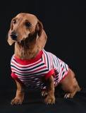Собака таксы стоковое изображение rf