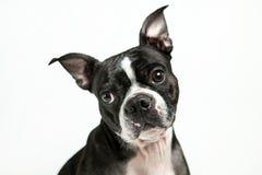 Собака терьера Бостона Стоковые Фотографии RF