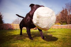 Собака терьера быка Стаффордшира играя с футбольным мячом который бит выкачанный после жевать Принятый от низкого угла стоковое фото rf