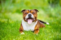 Собака терьера быка Стаффордшира английского языка стоковая фотография rf