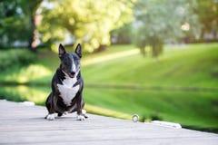 Собака терьера быка черного английского языка представляя в парке Стоковые Изображения
