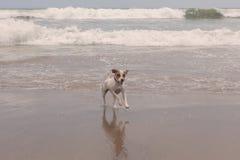 Собака терьера Джека Рассела милая Стоковые Фотографии RF