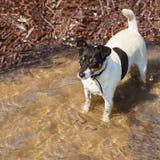 Собака терьера Джека Рассела на предпосылке природы Стоковые Изображения RF