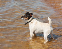Собака терьера Джека Рассела на предпосылке природы Стоковая Фотография