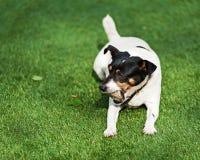 Собака терьера Джека Рассела на предпосылке природы Стоковое Изображение RF