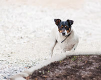 Собака терьера Джека Рассела на предпосылке природы стоковые фотографии rf