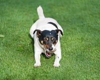 Собака терьера Джека Рассела на предпосылке природы стоковое фото rf