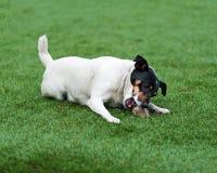 Собака терьера Джека Рассела на предпосылке природы стоковое фото