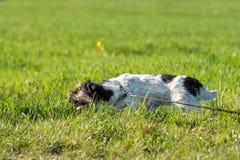 Собака терьера Джек Рассела ждет крюк земли в луге и ест траву стоковое изображение