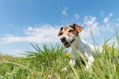 Собака терьера Джек Рассела 10 лет старого усаживания в зеленом луге весны стоковые фото