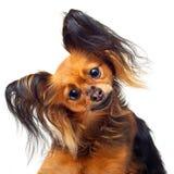 Собака терьера игрушки. Стоковые Изображения