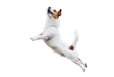 Собака терьера на белый скакать и летать высоко Стоковые Изображения RF