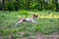 Собака терьера Fox улавливает шарик на лету Стоковые Изображения RF
