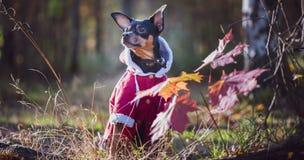 Собака, терьер игрушки, стильно одетая маленькая собака в свитере и пальто овчины, против осени фона недавно стоковые фото