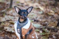 Собака, терьер игрушки, стильно одетая маленькая собака в свитере Стоковое Изображение RF