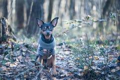 Собака, терьер игрушки, стильно одетая маленькая собака в свитере, Стоковые Изображения