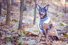 Собака, терьер игрушки, стильно одетая маленькая собака в свитере Стоковое Фото