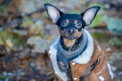 Собака, терьер игрушки, стильно одетая маленькая собака в свитере Стоковая Фотография