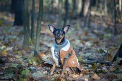 Собака, терьер игрушки, стильно одетая маленькая собака в свитере Стоковые Фотографии RF