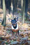 Собака, терьер игрушки, стильно одетая маленькая собака в свитере Стоковое фото RF