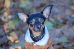 Собака, терьер игрушки, стильно одетая маленькая собака в свитере Стоковые Изображения RF