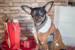Собака, терьер игрушки, стильно одетая маленькая собака в sheepsk Стоковые Фотографии RF