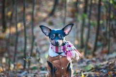 Собака, терьер игрушки, стильно одетая маленькая собака в sheepsk Стоковая Фотография