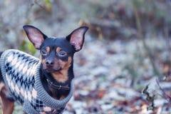 Собака, терьер игрушки, стильно одетый свитер маленькой собаки, agai Стоковые Изображения