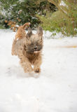 Собака тибетского терьера бежать и скача в снег Стоковое фото RF