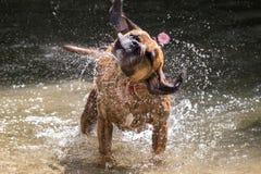 Собака тряся в реке Стоковые Фото