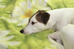 Собака уныла Стоковая Фотография RF
