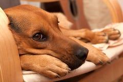 собака унылая Стоковая Фотография