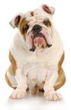 собака уродская Стоковая Фотография
