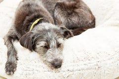 Собака уснувшая на кровати плюша Стоковые Фото