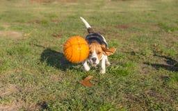 Собака улавливая шарик Стоковое Изображение