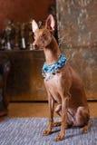 Собака фараона красивая на стене предпосылки Стоковое Фото