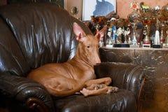 Собака фараона красивая на стене предпосылки Стоковые Фотографии RF