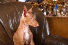 Собака фараона красивая на стене предпосылки Стоковые Фото