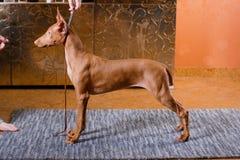 Собака фараона красивая на стене предпосылки Стоковое Изображение