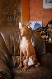 Собака фараона красивая на стене предпосылки Стоковые Изображения